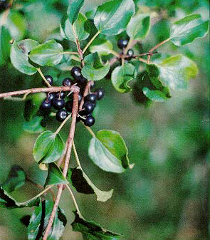 Rhamnus_catharticus_leaves_and_fruit